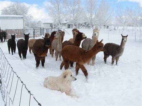 openherd arizona alpacas   alpaca farm located