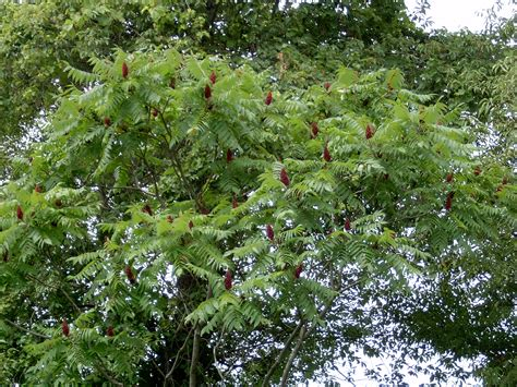 sumac trees staghorn sumac rhus typhina 183 msu plant and pest diagnostic services