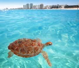 Green sea Turtle Caribbean sea surface Cancun Mexico – Go ...