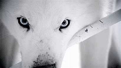 Arctic Wolves Wolf Animal Amazing Alaska Eyes