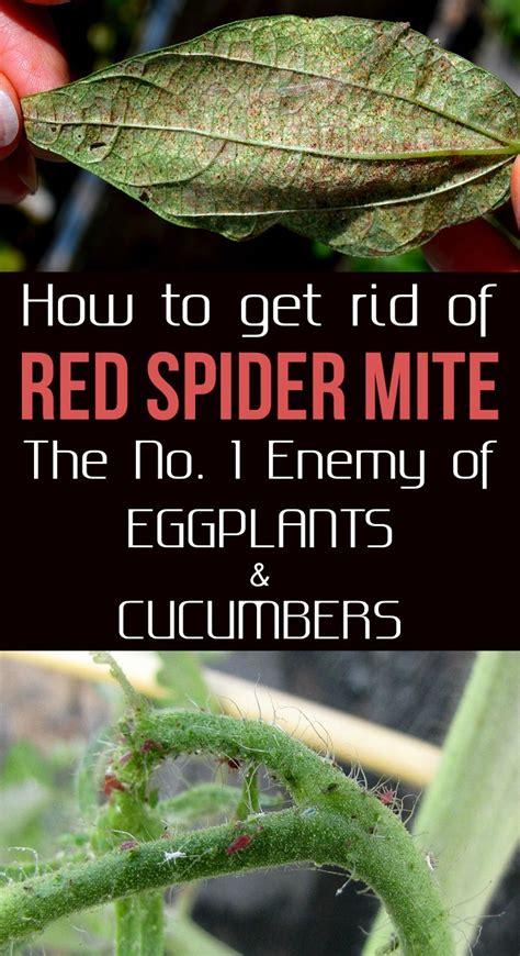 rid  red spider mite    enemy