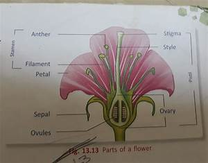 Name Of Parts Of Hibiscus Flower With Diagram And Lebelled