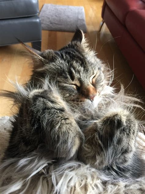 Do Maine Coons Shed by Why Are Maine Coon Cats So Big Compared To Other Cats