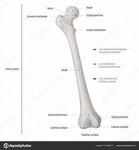 Infographic Diagram Van Menselijke Dijbeen Been Been Bone