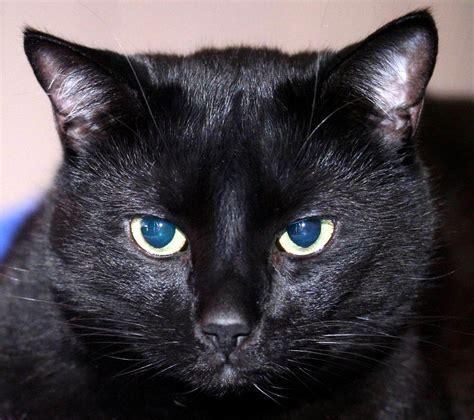 black cats all wallpapers fat black cats