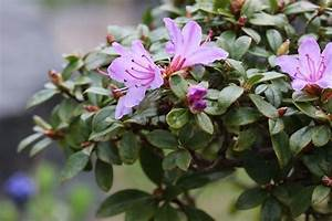Rhododendron Blüht Nicht : rhododendron pflege von a z grundlagen expertenwissen ~ Frokenaadalensverden.com Haus und Dekorationen