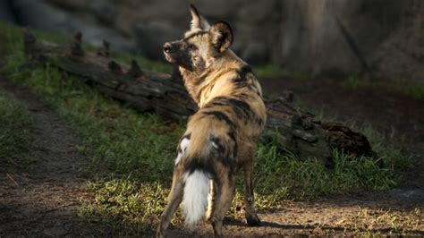 wallpaper wild dog african wild dog sun sunny day