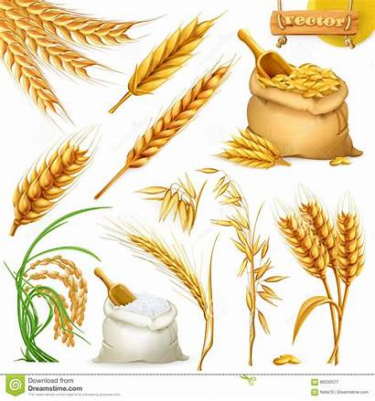 Wheat Barley Rice Illustration Vector Oat Icon
