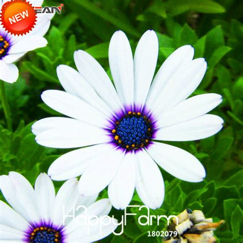 aliexpress buy sale white osteospermum seeds