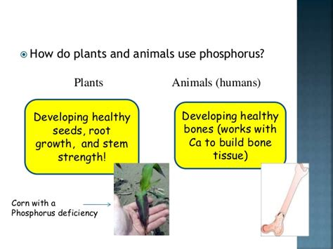 what does phosphorus do for plants phosphorous cycle in marine environment