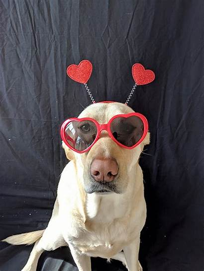 Lab Labrador Puppies Dog Breeds Retriever Yellow