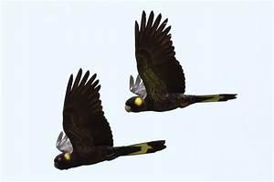 File:Calyptorhynchus funereus -Edithvale Wetlands ...