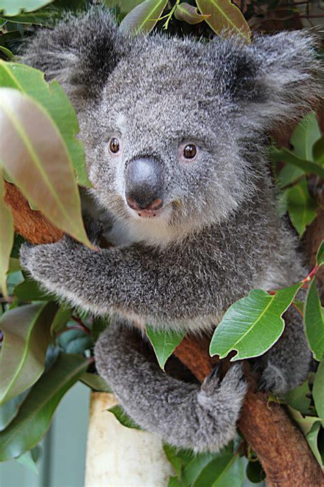 wombats  koalas potoroo palace