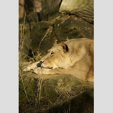 Lioness Free Stock Photos In Jpeg (jpg) 3333x5000 Format