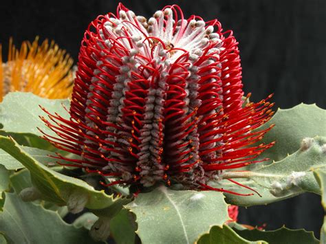 banksias  cutflower production agriculture  food