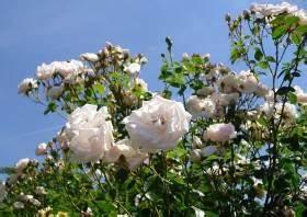 Kletterrose New Dawn : new dawn beliebte kletterrose somerset rose nursery usa ~ Michelbontemps.com Haus und Dekorationen