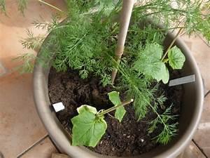 Gurken Anbauen Im Topf : aussaat im mai tomaten gurken zucchini richtig pflanzen und mehr tipps ~ Frokenaadalensverden.com Haus und Dekorationen