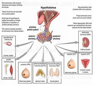 Pituitary Hormones  Anterior  Adenohypophyseal Hormones