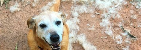 Heavy Shedding Dogs by How To Stop Excessive Shedding In Dogs Product Picker