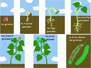 Growing A Bean Plant By Edpjrd - Teaching Resources