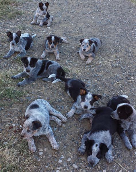 australian cattle dog puppies  sale wheatland ca