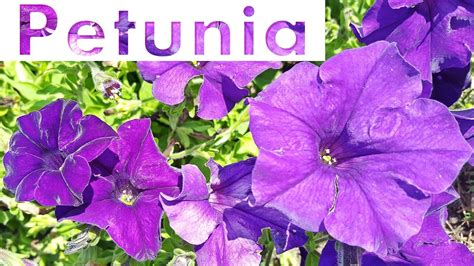 types  petunia hybrida flower  youtube