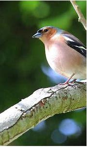 Chaffinch in Spring bw Donegal Ireland Photograph by Eddie ...