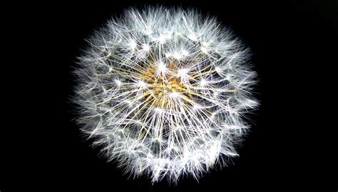 Free Images  Nature, Black And White, Growth, Dandelion