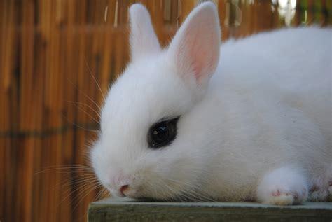 gabbie coniglio nano cucciolo coniglio nano hotot allevamentoconigli it