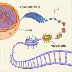 Organelle Functions - Elena Azzad's Biology Webpage