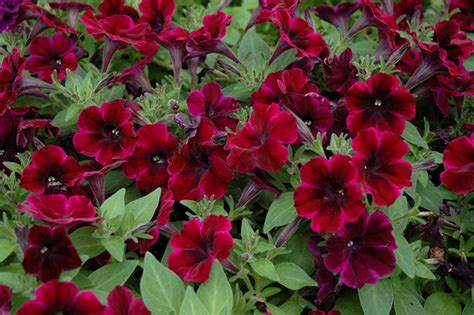 what are annuals 7 top rated colorado annuals for your summer gardens tagawa gardens blog
