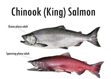 salmon fishing  ketchikan alaska  types  salmon