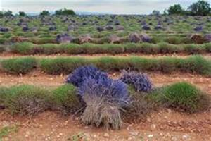Verholzten Lavendel Schneiden : lavendel nach der bl te schneiden so wird 39 s gemacht ~ Lizthompson.info Haus und Dekorationen