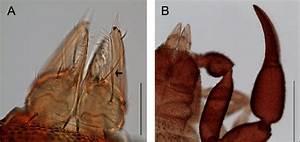 Male Of Allochernes Powelli  A  Chelicerae  Dorsal View