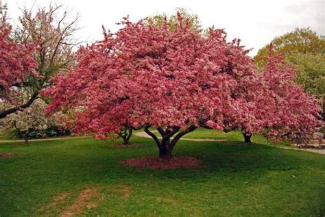 types of pink flowering trees ornamental trees for your garden recommended types