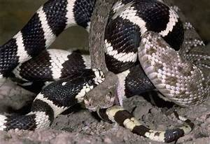 California Kingsnake in a Fight with a Rattlesnake (7 pics ...