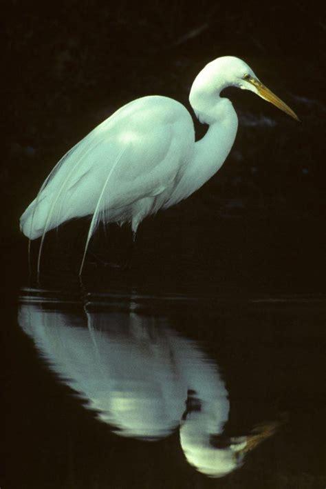 Great Egret - Sacramento Splash