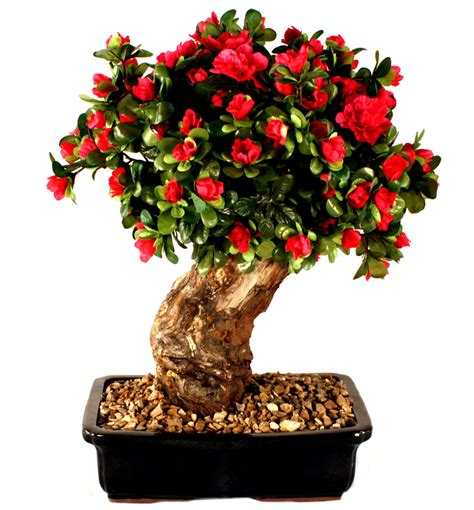 artificial weeping fig tree hassle free methods for growing indoor bonsai treezzz