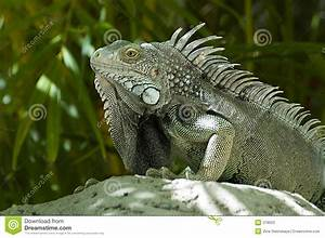 Male Green Iguana stock photo. Image of spines, dorsal ...