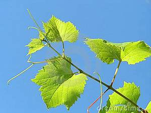 Hoja De La Planta De La Uva Imagen de archivo libre de regalías Imagen: 1270646