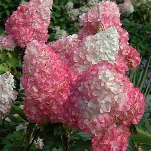 Hortensie Wims Red : exotische hortensien sorten zum bewundern ~ Michelbontemps.com Haus und Dekorationen