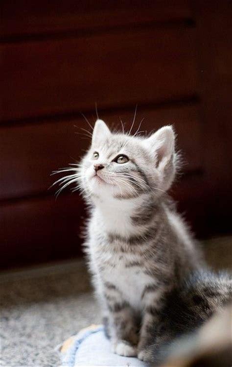 Tabby Meme - 25 best ideas about grey tabby kittens on pinterest kittens tabby cats and adorable kittens