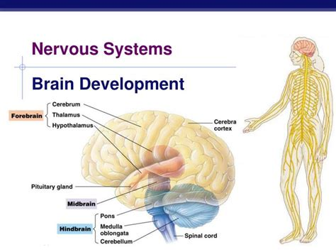 ppt nervous systems powerpoint presentation id 4546977