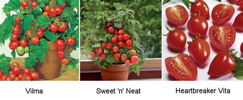 Windowsill Tomatoes by Tomato Seed Choice 2019 Blight Free Varieties