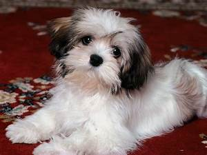 Shih Tzu Puppies Free Wallpaper - Pictures Of Animals 2016