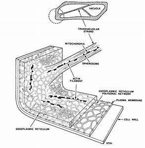 Onion Epidermal Cell Diagram
