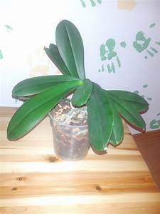 Engelstrompete Blüht Nicht : orchidee bl ht nicht orchideen hybriden fragen der pflege pflanzenforum ~ A.2002-acura-tl-radio.info Haus und Dekorationen