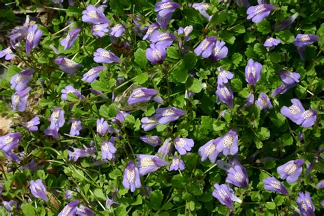 flower ground cover the best flowering ground covers proflowers blog