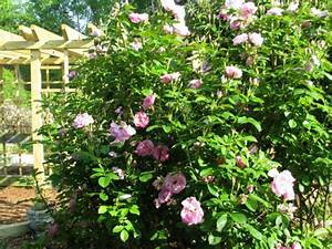 Rosen Schneiden Frühling : rosen schneiden rosenr ckschnitt im fr hling und im herbst ~ Watch28wear.com Haus und Dekorationen