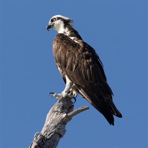 Images Of Osprey Osprey Bird Of Many Names Gotscience Org